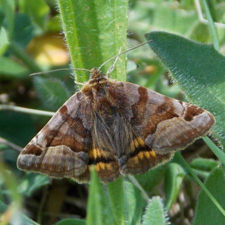 Ercall Moths