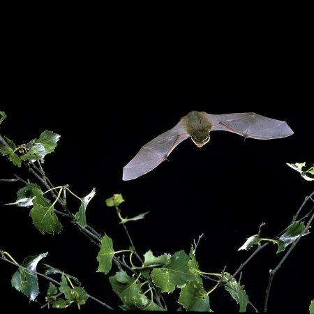Wrekin Bats