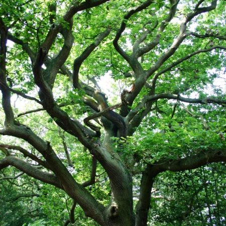 Sessile Oak