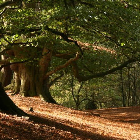 Wrekin Forest Veteran Trees