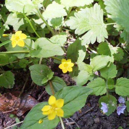 Limekiln Wood Spring Plants