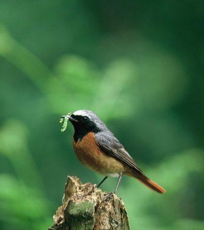 Wrekin Summer Woodland Birds