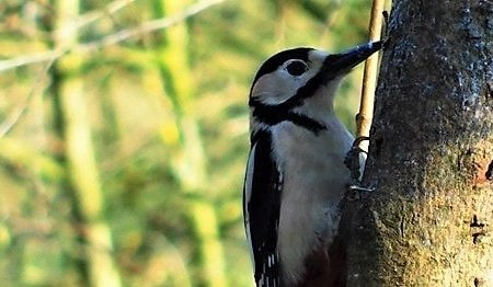 Wrekin Woodpeckers