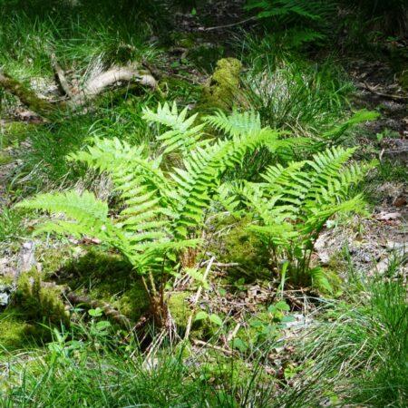 Wrekin Woodland Ferns
