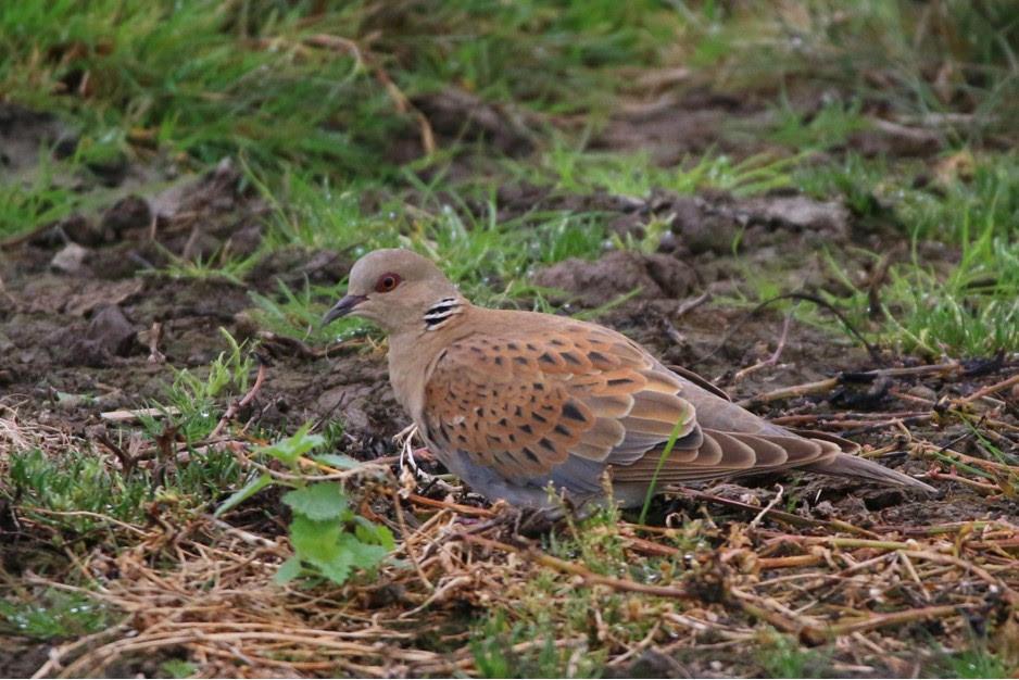 Turtle-Dove-Wrekin-Forest-Shropshire
