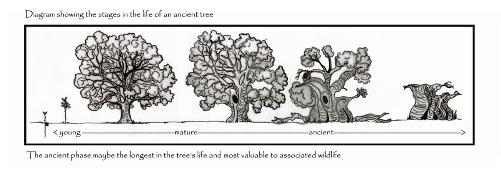 Veteran-Ancient-Trees-Wreki8n-Forest-Shropshire-Diagram