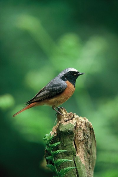 Redstart-Birds-Wrekin-Forest-Shropshire